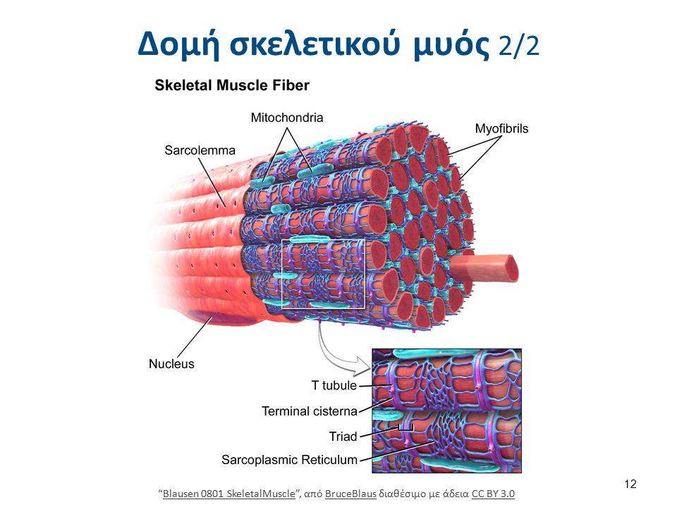"""Δομή σκελετικού μυός 2/2 """"Blausen 0801 SkeletalMuscle"""", από BruceBlaus διαθέσιμο με άδεια CC BY 3.0Blausen 0801 SkeletalMuscleBruceBlausCC BY 3.0 12"""