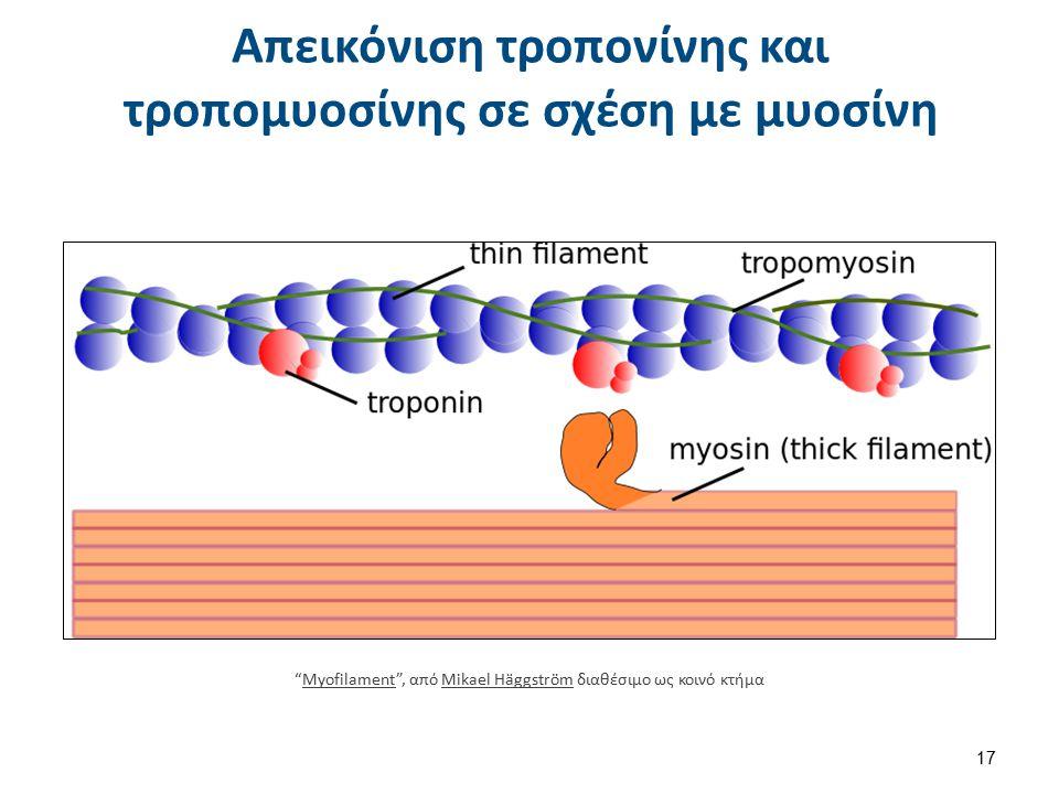 """Απεικόνιση τροπονίνης και τροπομυοσίνης σε σχέση με μυοσίνη """"Myofilament"""", από Mikael Häggström διαθέσιμο ως κοινό κτήμαMyofilamentMikael Häggström 17"""