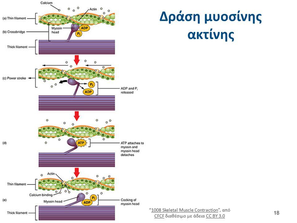 """Δράση μυοσίνης ακτίνης """"1008 Skeletal Muscle Contraction"""", από CFCF διαθέσιμο με άδεια CC BY 3.01008 Skeletal Muscle Contraction CFCFCC BY 3.0 18"""