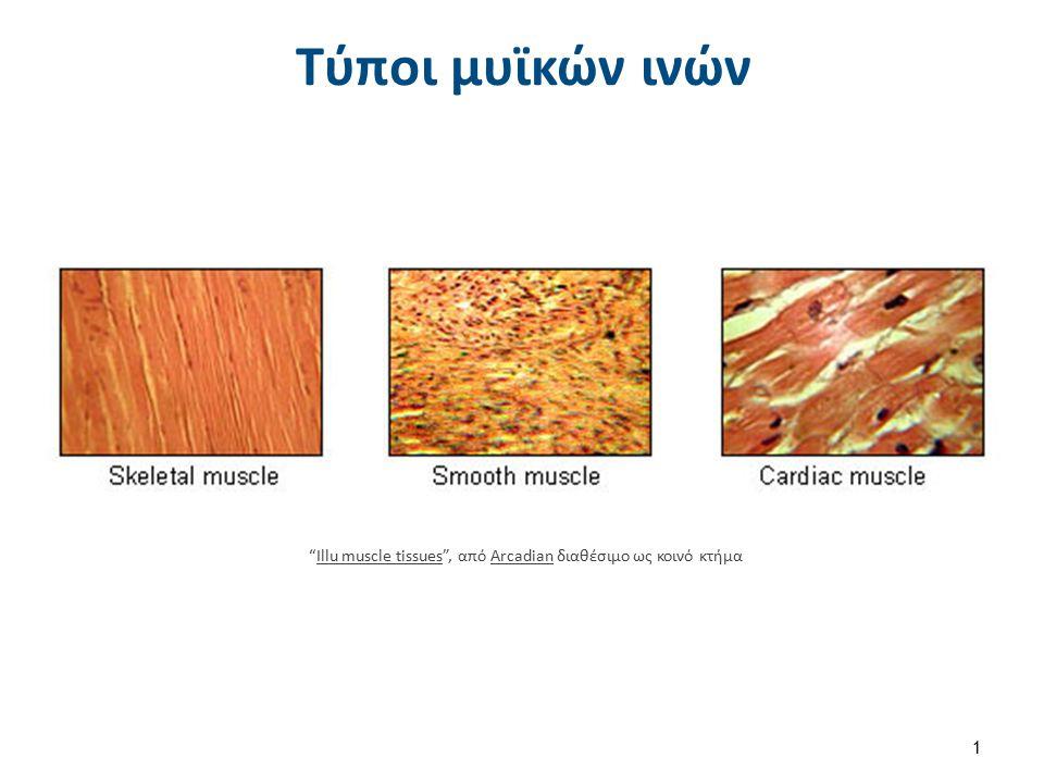 """Τύποι μυϊκών ινών """"Illu muscle tissues"""", από Arcadian διαθέσιμο ως κοινό κτήμαIllu muscle tissuesArcadian 1"""