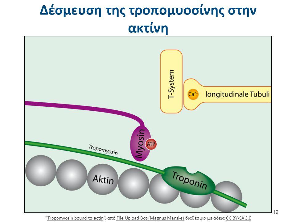 """Δέσμευση της τροπομυοσίνης στην ακτίνη """"Tropomyosin bound to actin"""", από File Upload Bot (Magnus Manske) διαθέσιμο με άδεια CC BY-SA 3.0Tropomyosin bo"""