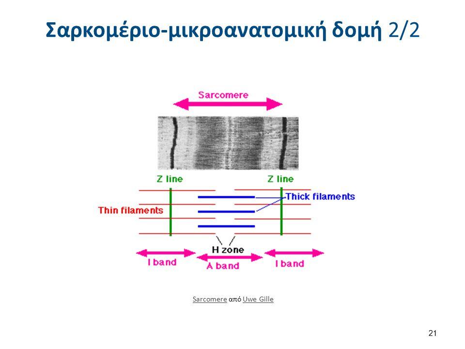 Σαρκομέριο-μικροανατομική δομή 2/2 SarcomereSarcomere από Uwe GilleUwe Gille 21
