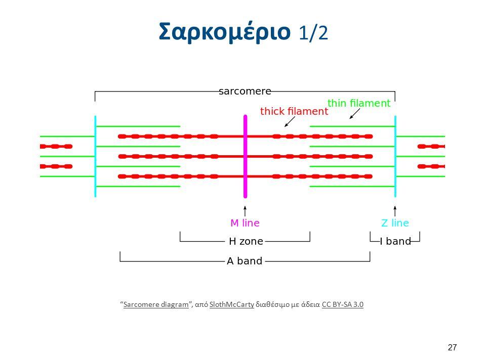 """Σαρκομέριο 1/2 """"Sarcomere diagram"""", από SlothMcCarty διαθέσιμο με άδεια CC BY-SA 3.0Sarcomere diagramSlothMcCartyCC BY-SA 3.0 27"""