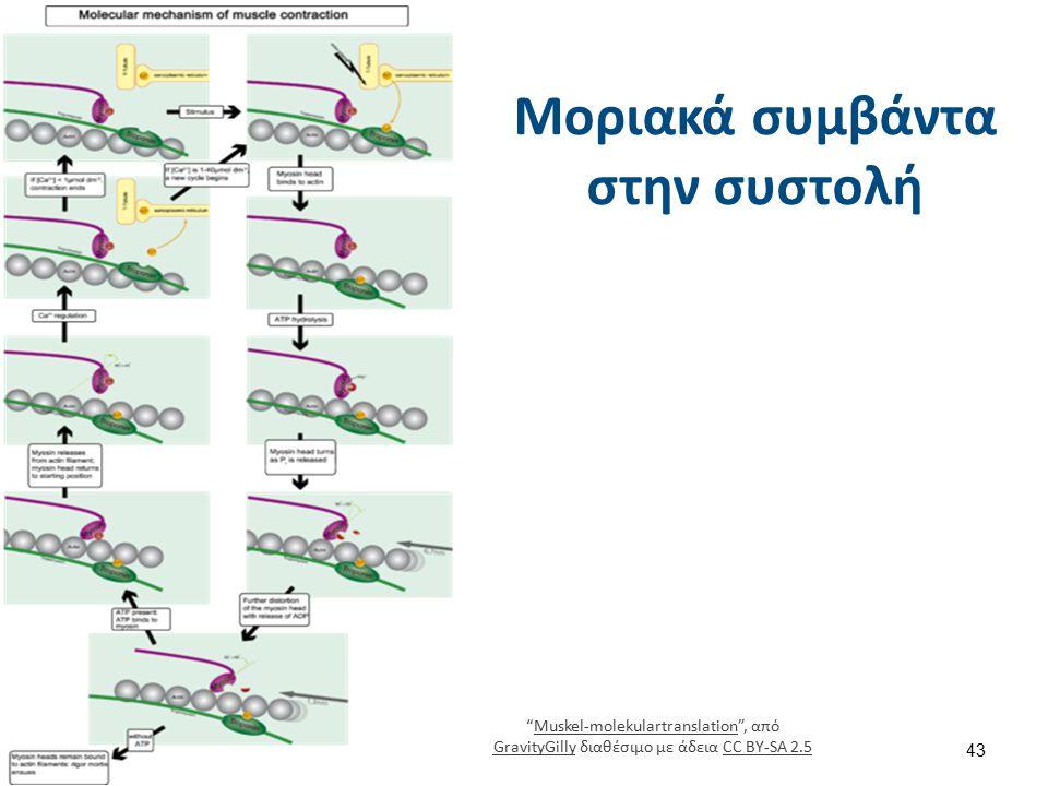 """Μοριακά συμβάντα στην συστολή """"Muskel-molekulartranslation"""", από GravityGilly διαθέσιμο με άδεια CC BY-SA 2.5Muskel-molekulartranslation GravityGillyC"""