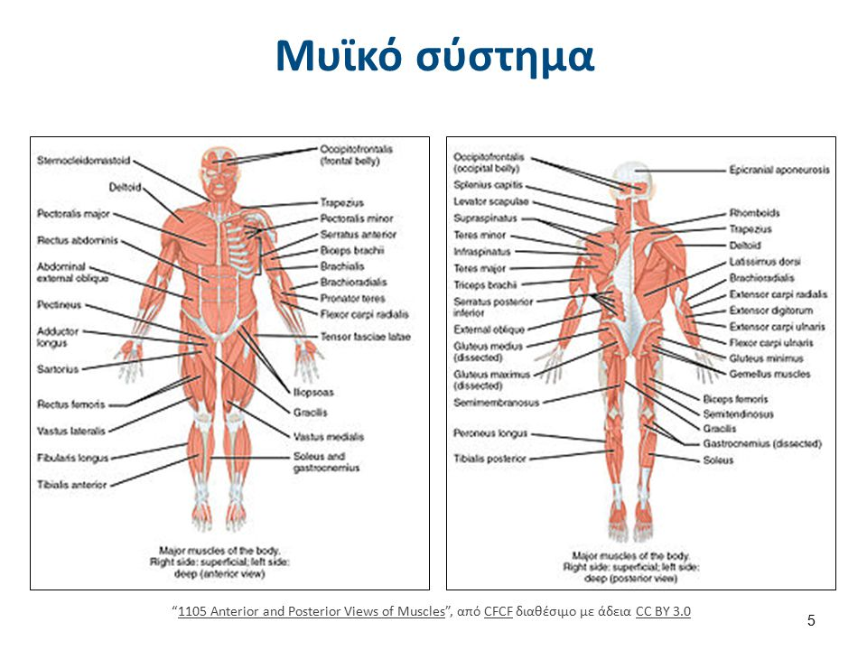 """Μυϊκό σύστημα """"1105 Anterior and Posterior Views of Muscles"""", από CFCF διαθέσιμο με άδεια CC BY 3.01105 Anterior and Posterior Views of MusclesCFCFCC"""