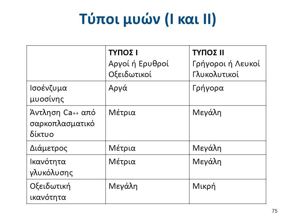 Τύποι μυών (Ι και ΙΙ) ΤΥΠΟΣ Ι Αργοί ή Ερυθροί Οξειδωτικοί ΤΥΠΟΣ ΙΙ Γρήγοροι ή Λευκοί Γλυκολυτικοί Ισοένζυμα μυοσίνης ΑργάΓρήγορα Άντληση Ca ++ από σαρ