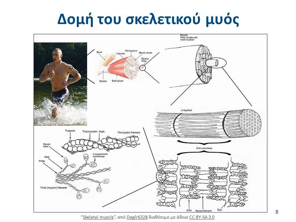 Οι χαρακτηριστικές γραμμώσεις των μυών οφείλονται στις πολωτικές ιδιότητες των διαφόρων μερών των μυϊκών ινιδίων.