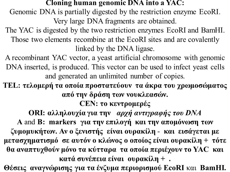 Cloning human genomic DNA into a YAC: Genomic DNA is partially digested by the restriction enzyme EcoRI. Very large DNA fragments are obtained. The YA