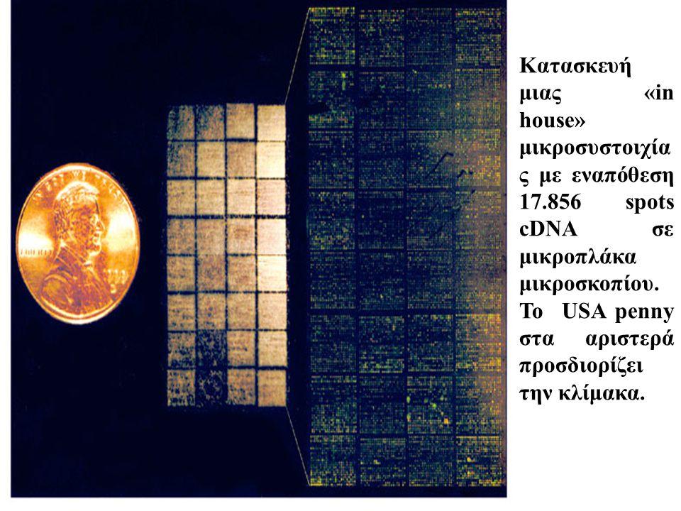 Κατασκευή μιας «in house» μικροσυστοιχία ς με εναπόθεση 17.856 spots cDNA σε μικροπλάκα μικροσκοπίου. Το USA penny στα αριστερά προσδιορίζει την κλίμα