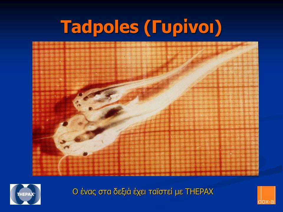 Tadpoles (Γυρίνοι) Ο ένας στα δεξιά έχει ταϊστεί με THEPAX