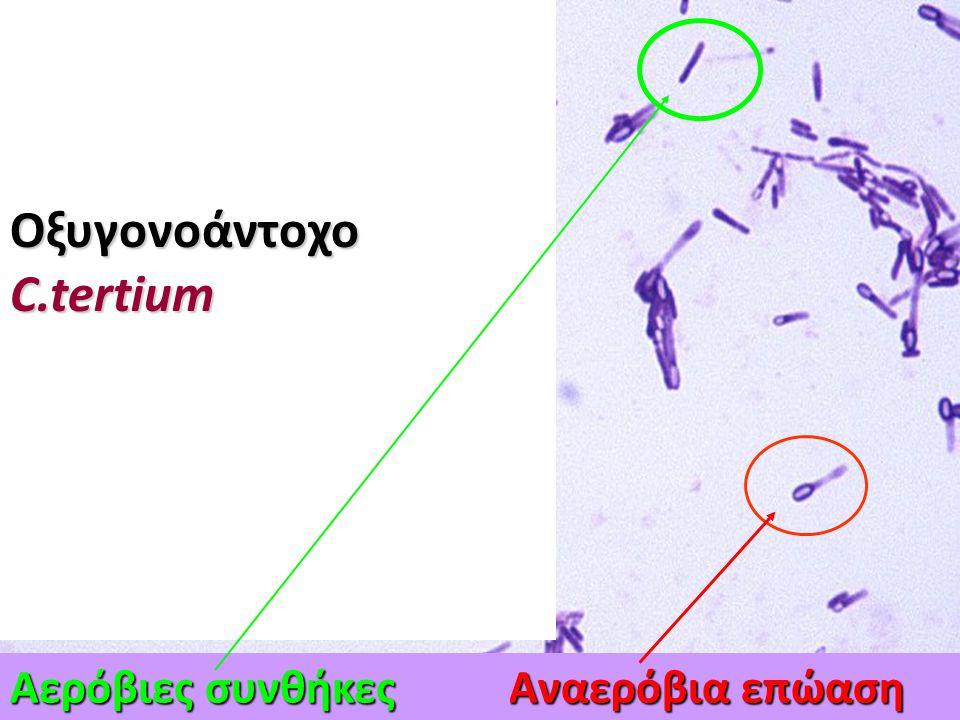 3.Μικροσκοπική εξέταση μορφολογίας μικροβίου (Gram χρώση) Gram (+), Gram(-) Gram (+), Gram(-) Βακτηριακό κύτταρο: σχήμα, μέγεθος, Βακτηριακό κύτταρο: σχήμα, μέγεθος, διάταξη, παρουσία ειδικών σχηματισμών διάταξη, παρουσία ειδικών σχηματισμών Ανάλογα συνθηκών επώασης, ηλικίας καλλιέργειας και είδος θρεπτικού υλικού Ανάλογα συνθηκών επώασης, ηλικίας καλλιέργειας και είδος θρεπτικού υλικού