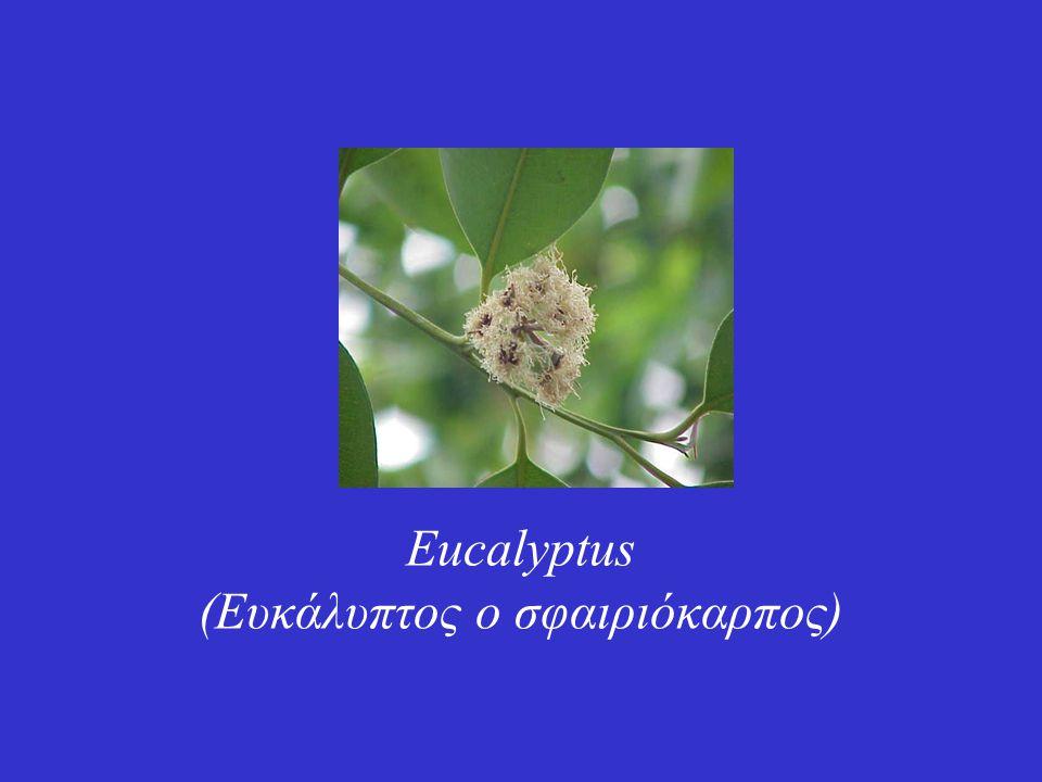 Eucalyptus (Ευκάλυπτος ο σφαιριόκαρπος)