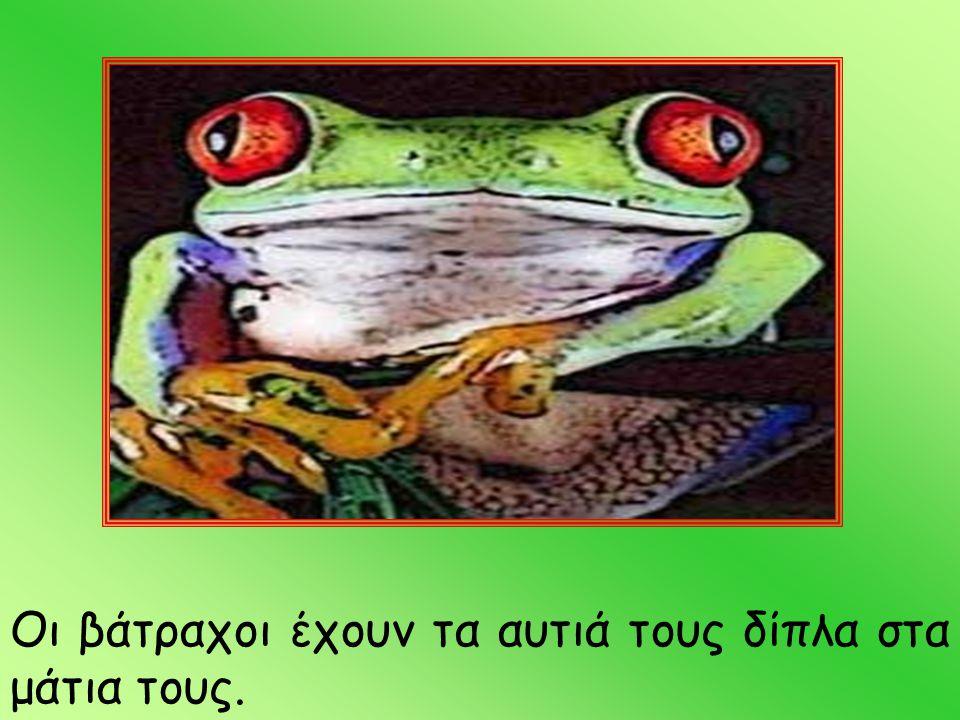 Οι βάτραχοι έχουν τα αυτιά τους δίπλα στα μάτια τους.