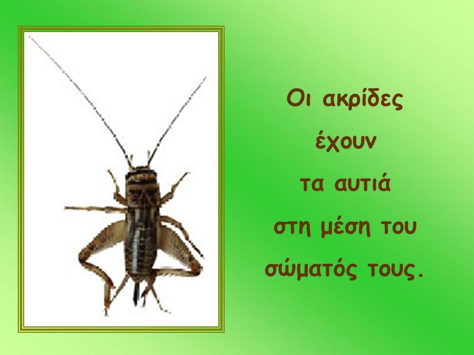 Οι ακρίδες έχουν τα αυτιά στη μέση του σώματός τους.