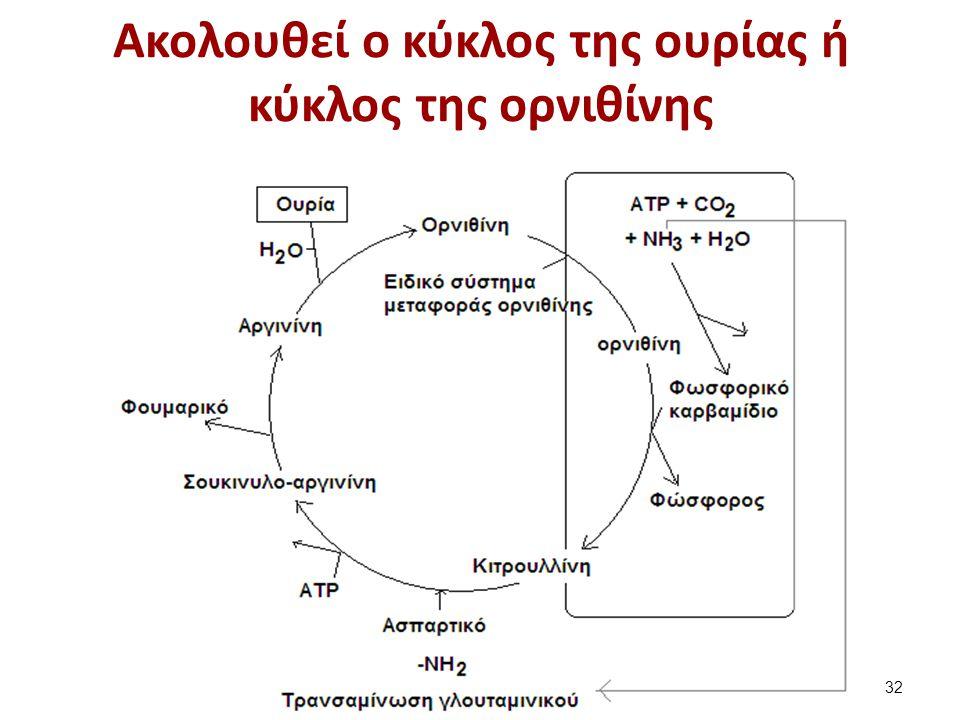 Ακολουθεί ο κύκλος της ουρίας ή κύκλος της ορνιθίνης ηπατοκύτταρο 32