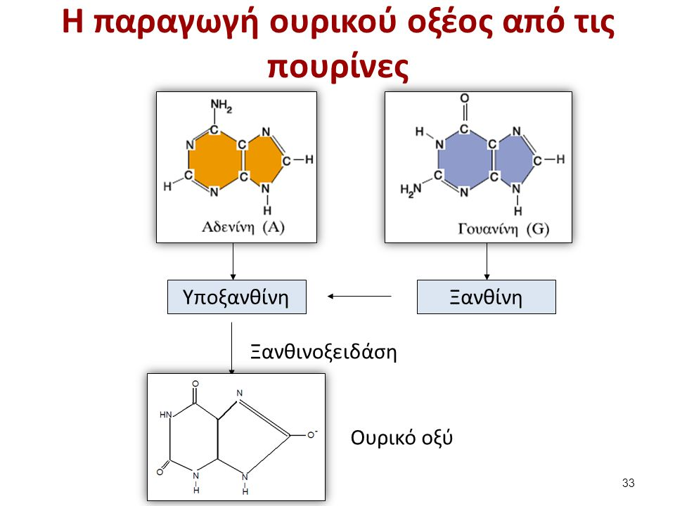 H παραγωγή ουρικού οξέος από τις πουρίνες ΞανθίνηΥποξανθίνη Ξανθινοξειδάση Ουρικό οξύ 33
