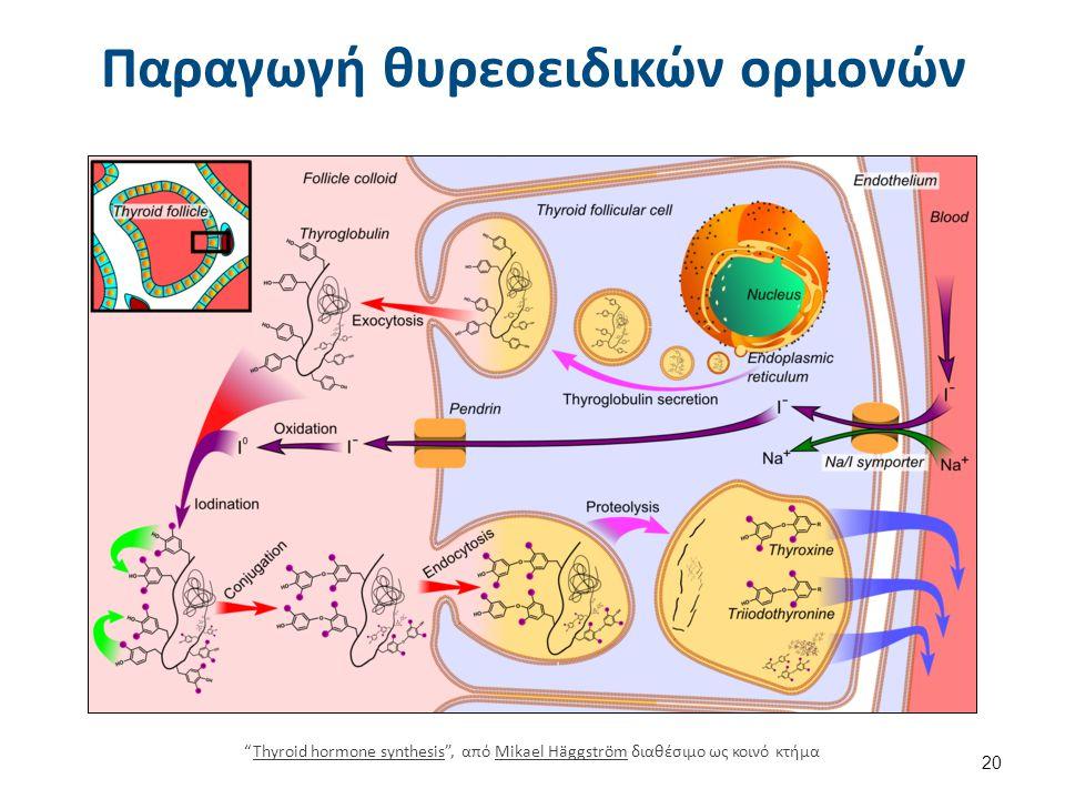 Παραγωγή θυρεοειδικών ορμονών Thyroid hormone synthesis , από Mikael Häggström διαθέσιμο ως κοινό κτήμαThyroid hormone synthesisMikael Häggström 20