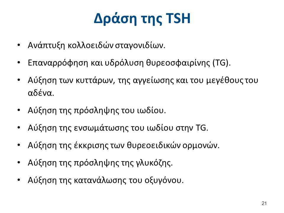 Δράση της TSH Ανάπτυξη κολλοειδών σταγονιδίων.Επαναρρόφηση και υδρόλυση θυρεοσφαιρίνης (TG).