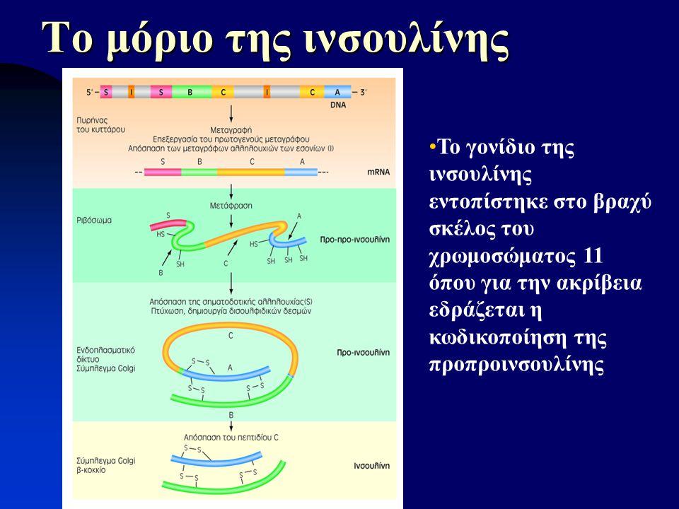 Το μόριο της ινσουλίνης Α-αλυσίδα C-πεπτίδιο -COOH -NH 2 Το γονίδιο της ινσουλίνης εντοπίστηκε στο βραχύ σκέλος του χρωμοσώματος 11 όπου για την ακρίβ