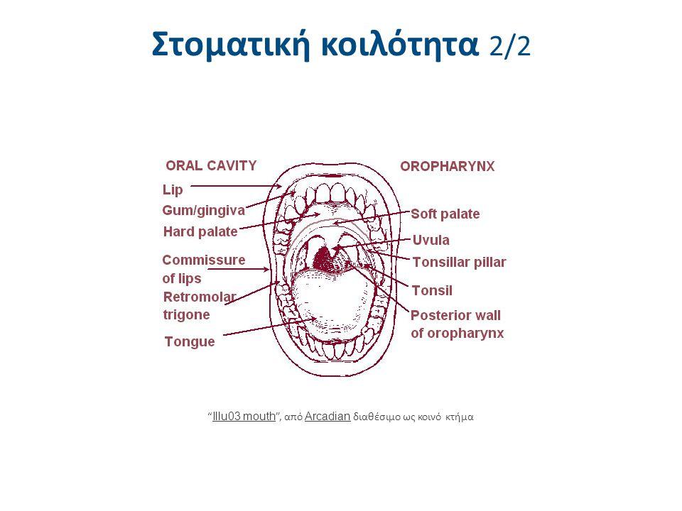 Γευστικοί κάλυκες και υπερώα 1/2 Γευστικοί κάλυκες (ειδικά κύτταρα για τη γεύση) υπάρχουν στις: Μυκητοειδείς θηλές, φυλλοειδείς θηλές, περιχαρακωμένες θηλές.