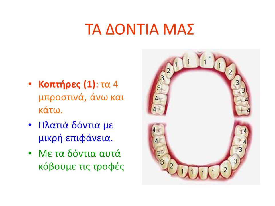 ΤΑ ΔΟΝΤΙΑ ΜΑΣ Κοπτήρες (1): τα 4 μπροστινά, άνω και κάτω. Πλατιά δόντια με μικρή επιφάνεια. Με τα δόντια αυτά κόβουμε τις τροφές