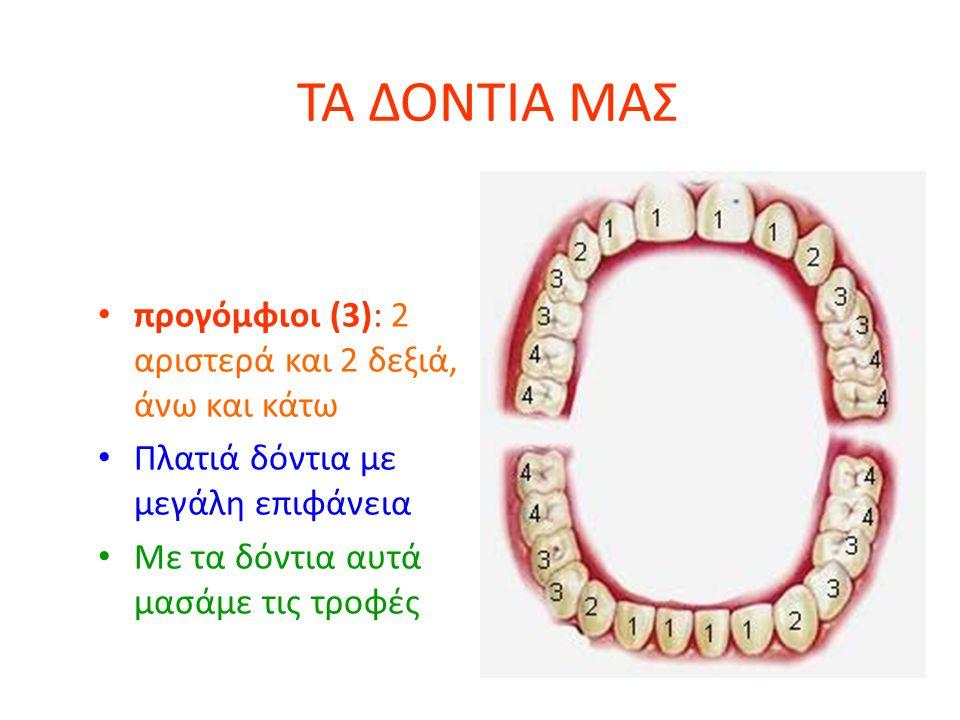 ΤΑ ΔΟΝΤΙΑ ΜΑΣ προγόμφιοι (3): 2 αριστερά και 2 δεξιά, άνω και κάτω Πλατιά δόντια με μεγάλη επιφάνεια Με τα δόντια αυτά μασάμε τις τροφές