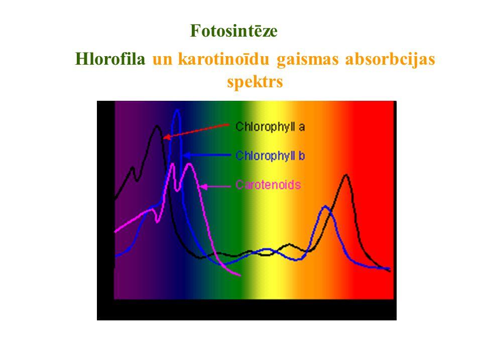 Fotosintēze Hlorofila un karotinoīdu gaismas absorbcijas spektrs