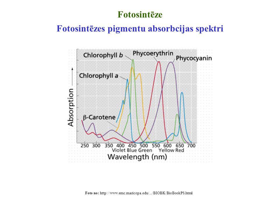 Fotosintēze Fotosintēzes pigmentu absorbcijas spektri Foto no: http://www.emc.maricopa.edu/.../BIOBK/BioBookPS.html