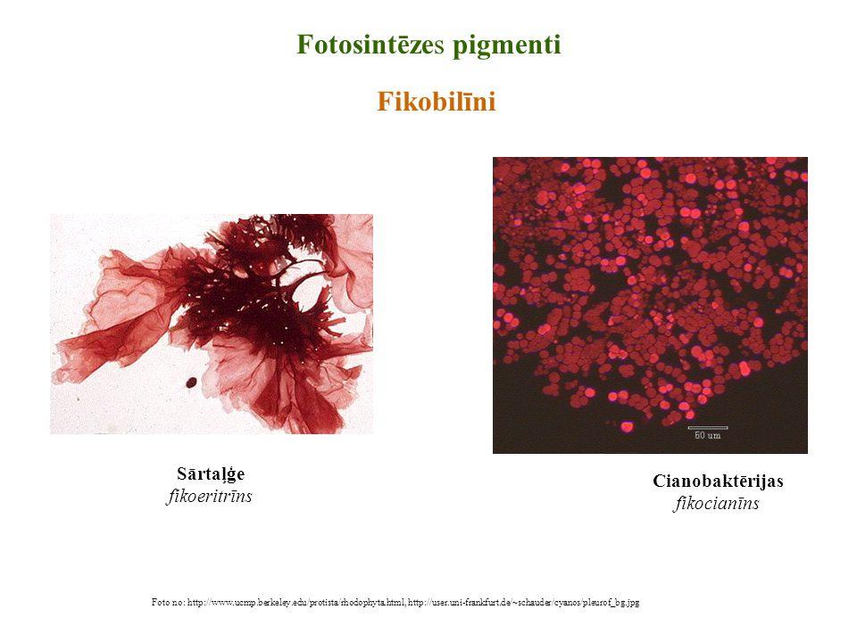 Foto no: http://www.ucmp.berkeley.edu/protista/rhodophyta.html, http://user.uni-frankfurt.de/~schauder/cyanos/pleurof_bg.jpg Fotosintēzes pigmenti Fik