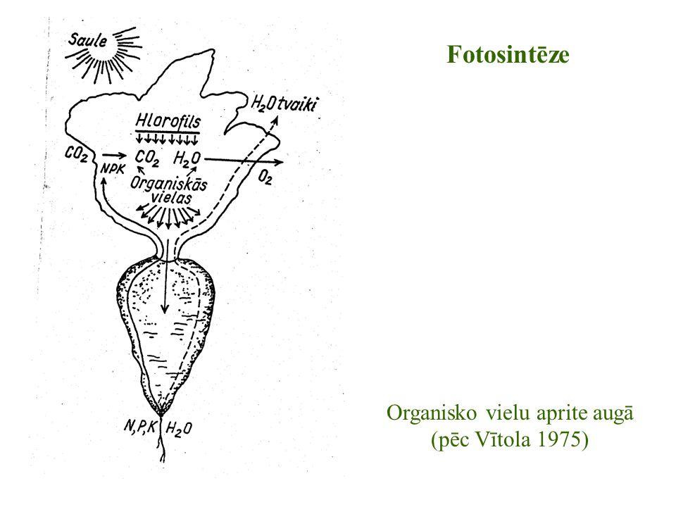 Organisko vielu aprite augā (pēc Vītola 1975) Fotosintēze