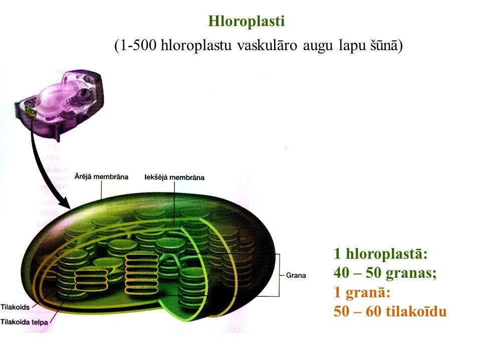 Hloroplasti (1-500 hloroplastu vaskulāro augu lapu šūnā) 1 hloroplastā: 40 – 50 granas; 1 granā: 50 – 60 tilakoīdu