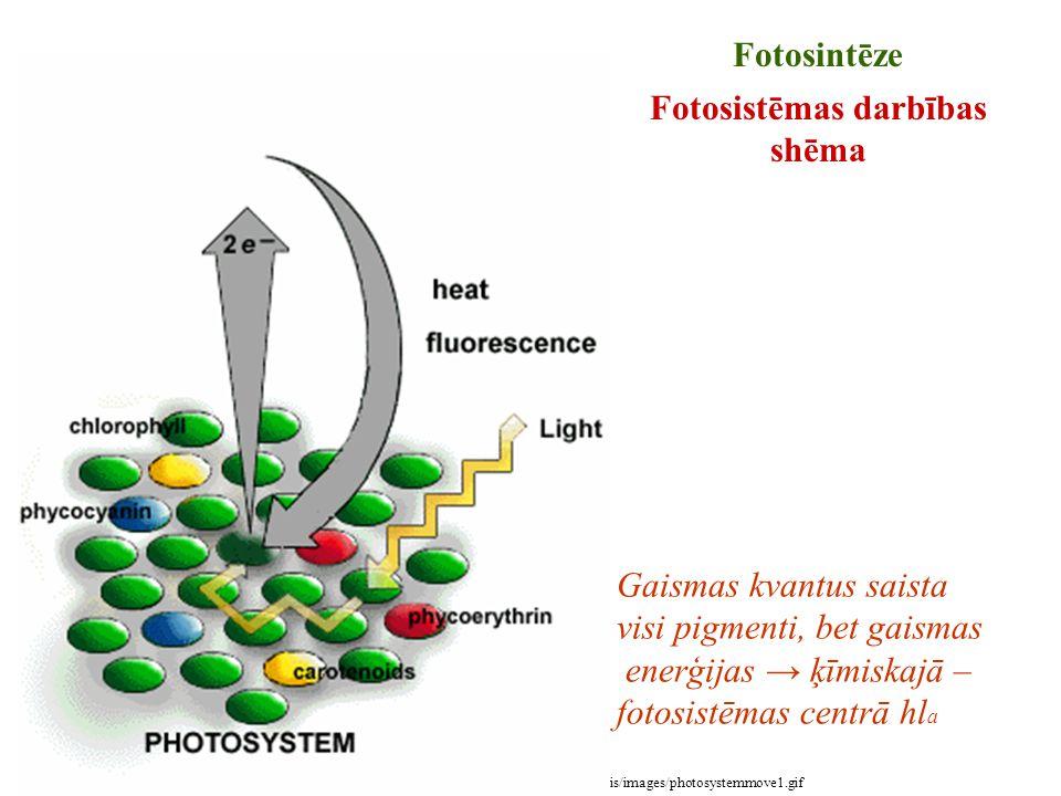 Foto no: http://www.botany.uwc.ac.za/ecotree/photosynthesis/images/photosystemmove1.gif Fotosintēze Fotosistēmas darbības shēma Gaismas kvantus saista