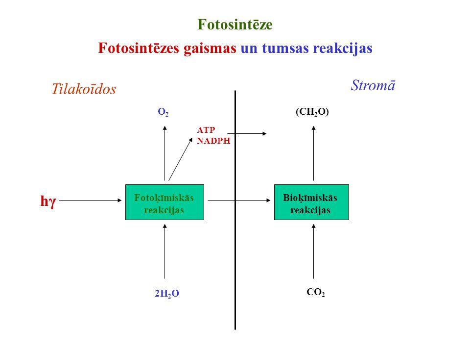 Fotoķīmiskās reakcijas Bioķīmiskās reakcijas O2O2 CO 2 2H 2 O (CH 2 O) ATP NADPH hγhγ Fotosintēze Fotosintēzes gaismas un tumsas reakcijas Tilakoīdos