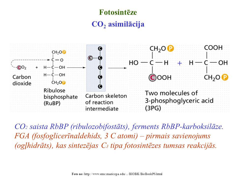 Foto no: http://www.emc.maricopa.edu/.../BIOBK/BioBookPS.html Fotosintēze CO 2 asimilācija + CO 2 saista RbBP (ribulozobifostāts), ferments RbBP-karbo