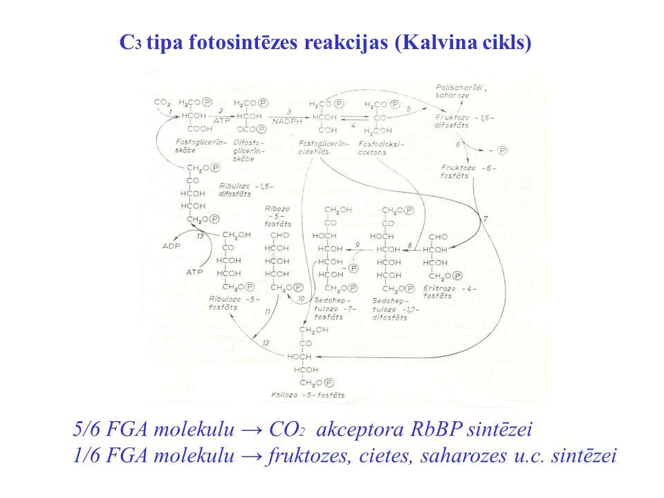 C 3 tipa fotosintēzes reakcijas (Kalvina cikls) 5/6 FGA molekulu → CO 2 akceptora RbBP sintēzei 1/6 FGA molekulu → fruktozes, cietes, saharozes u.c. s