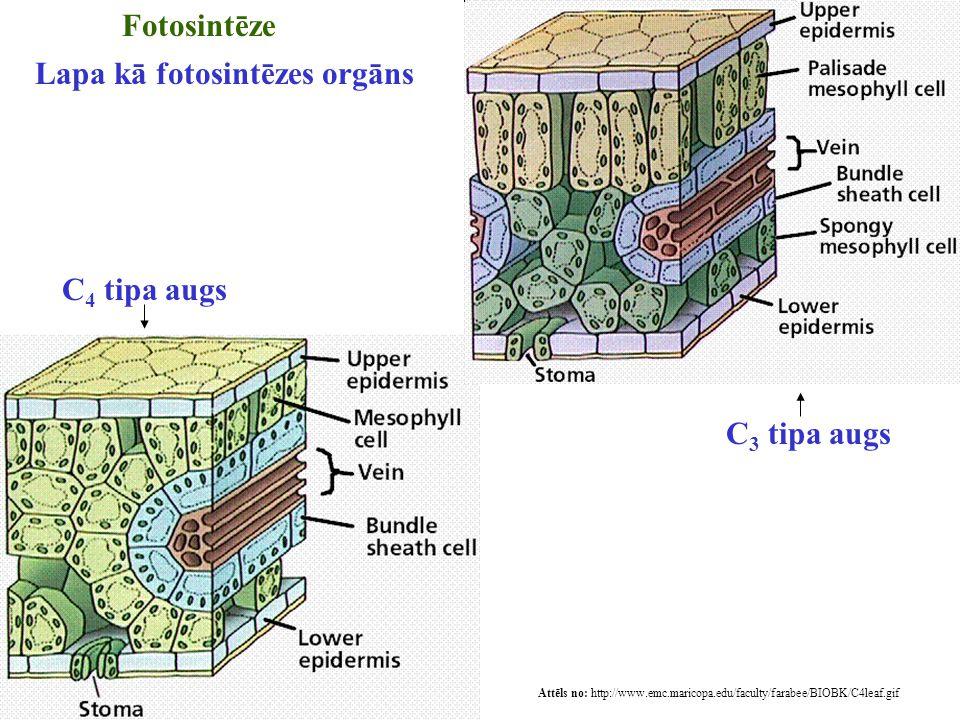 Attēls no: http://www.emc.maricopa.edu/faculty/farabee/BIOBK/C4leaf.gif Fotosintēze Lapa kā fotosintēzes orgāns C 4 tipa augs C 3 tipa augs