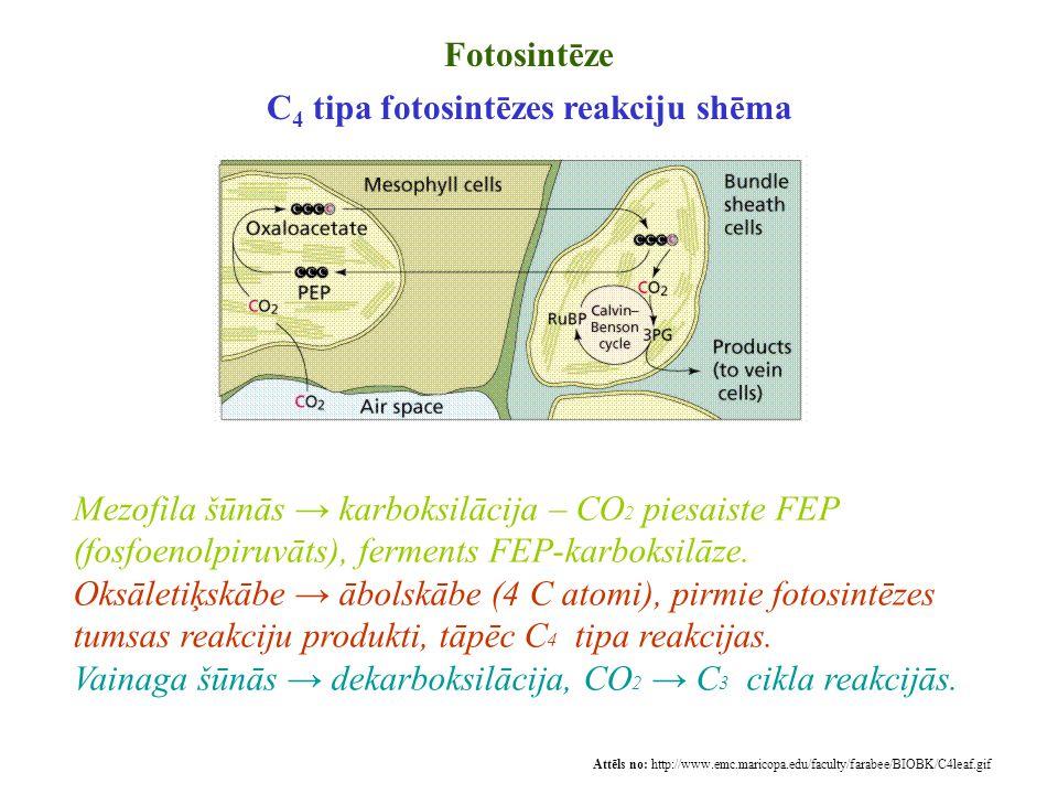Fotosintēze C 4 tipa fotosintēzes reakciju shēma Attēls no: http://www.emc.maricopa.edu/faculty/farabee/BIOBK/C4leaf.gif Mezofila šūnās → karboksilāci