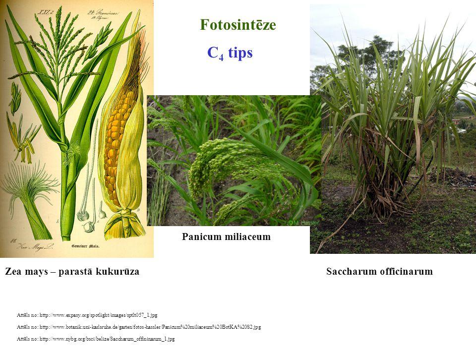 Attēls no: http://www.expasy.org/spotlight/images/sptlt057_1.jpg Fotosintēze Zea mays – parastā kukurūza C 4 tips Attēls no: http://www.nybg.org/bsci/
