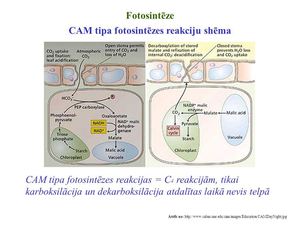 Fotosintēze CAM tipa fotosintēzes reakciju shēma Attēls no: http://www.cabnr.unr.edu/cam/images/Education/CAMDayNight.jpg CAM tipa fotosintēzes reakci