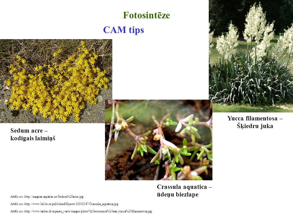 Attēls no: http://magnar.aspaker.no/Sedum%20acre.jpg Fotosintēze Sedum acre – kodīgais laimiņš CAM tips Attēls no: http://www.bd.lst.se/publishedObjec
