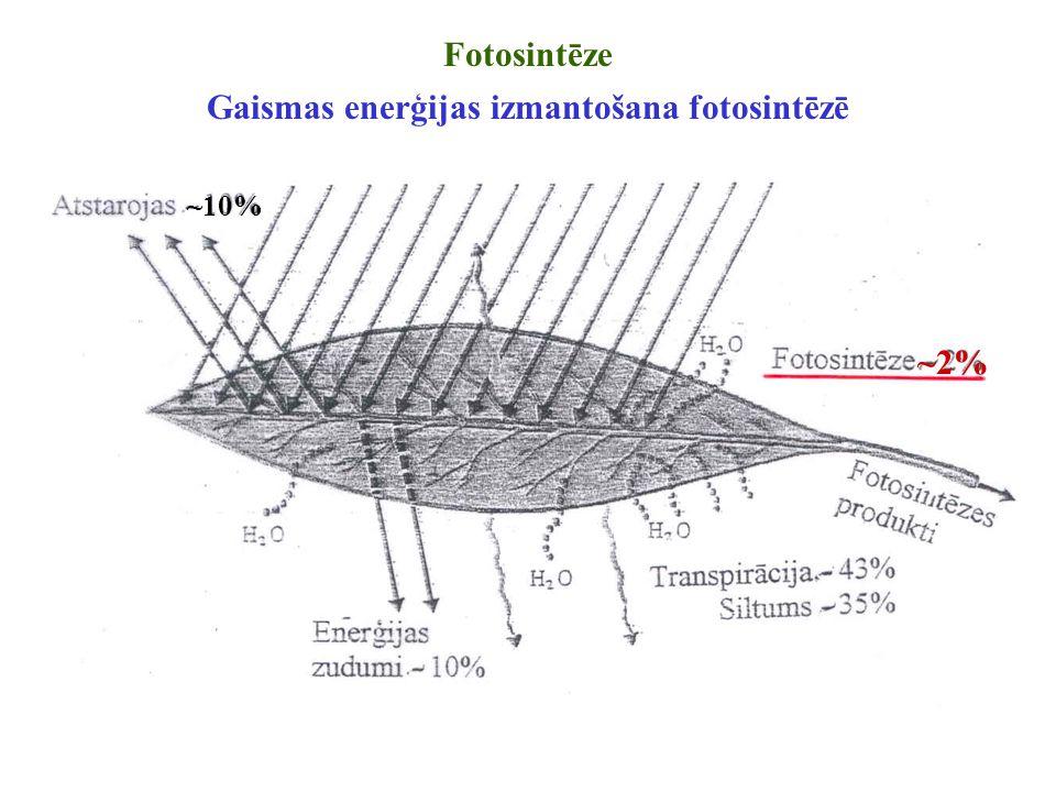Fotosintēze Gaismas enerģijas izmantošana fotosintēzē ~10% ~2%