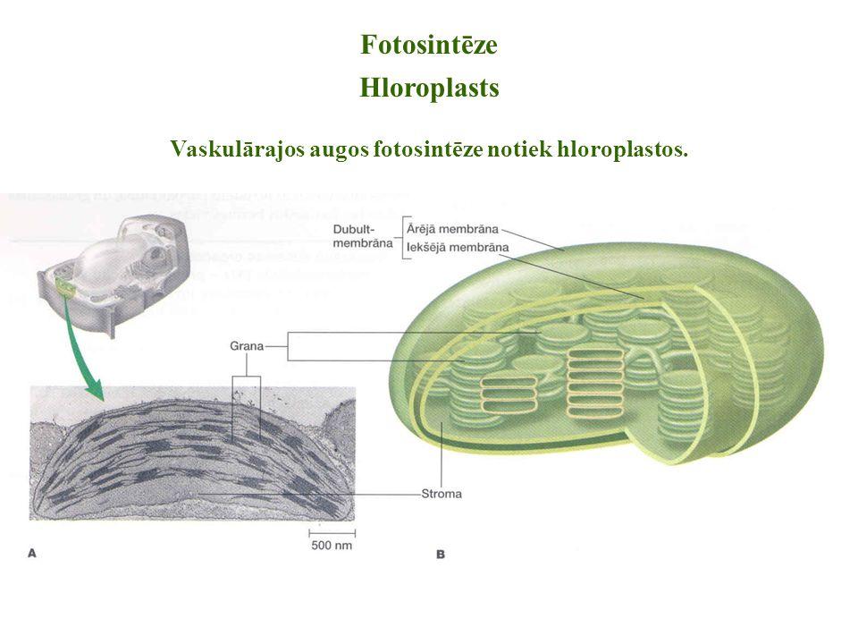 Fotosintēze Hloroplasts Vaskulārajos augos fotosintēze notiek hloroplastos.
