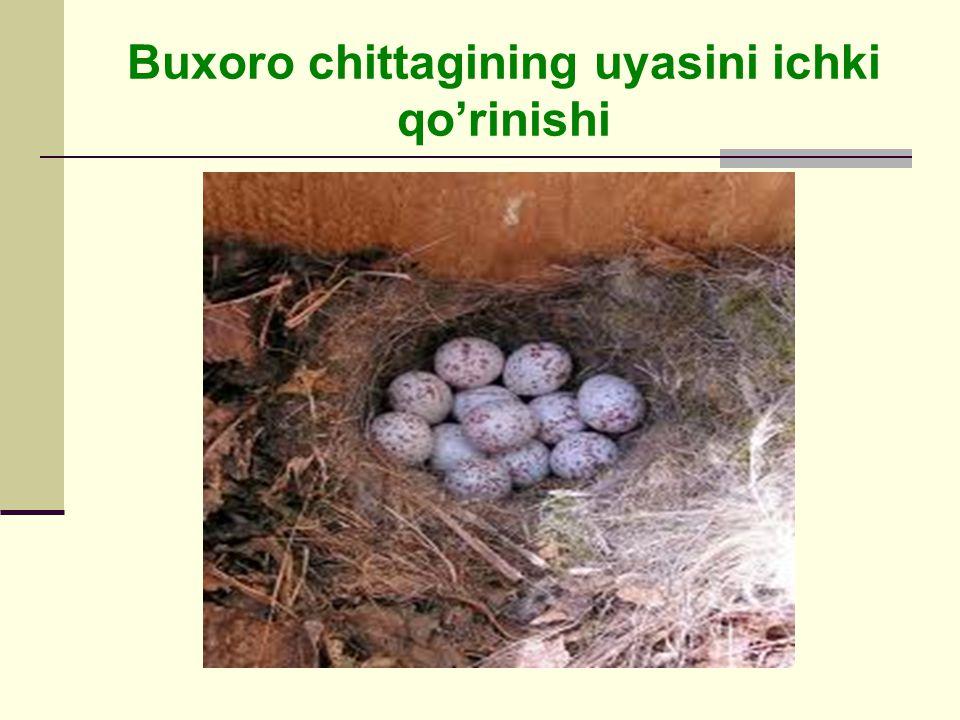 Buxoro chittagining uyasini ichki qo'rinishi
