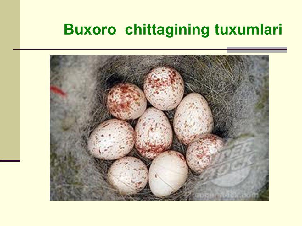 Buxoro chittagining tuxumlari