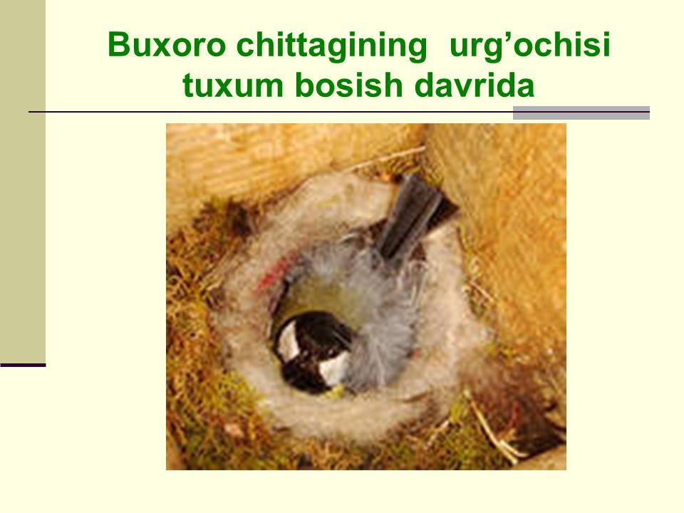 Buxoro chittagining urg'ochisi tuxum bosish davrida
