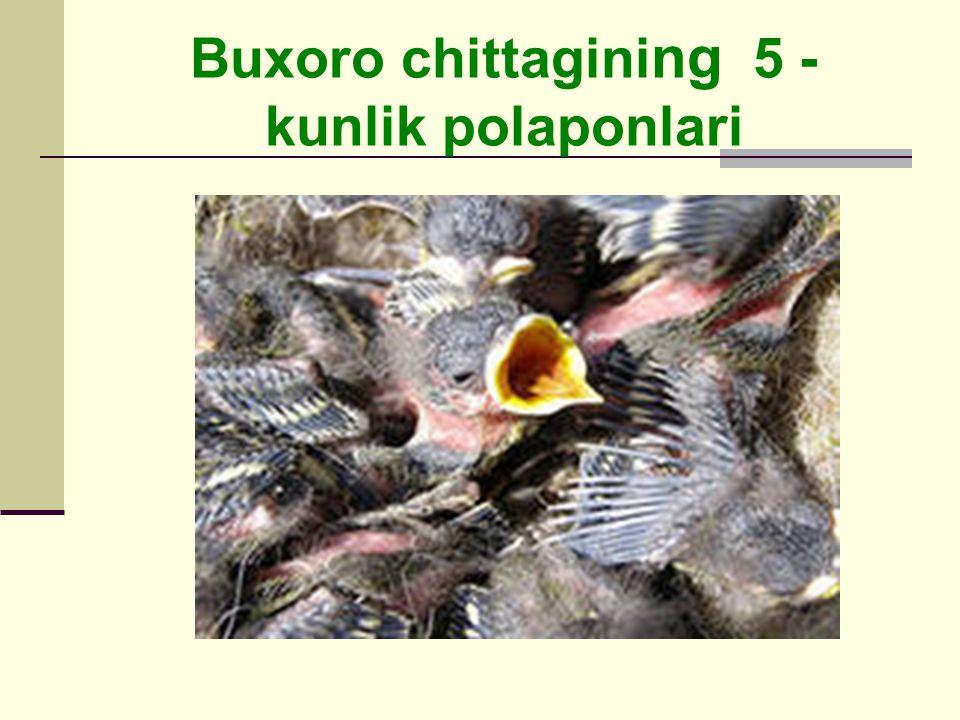 Buxoro chittagini ng 5 - kunlik polaponlari