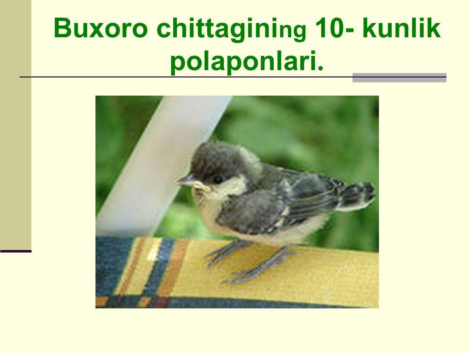 Buxoro chittagini ng 10- kunlik polaponlari.