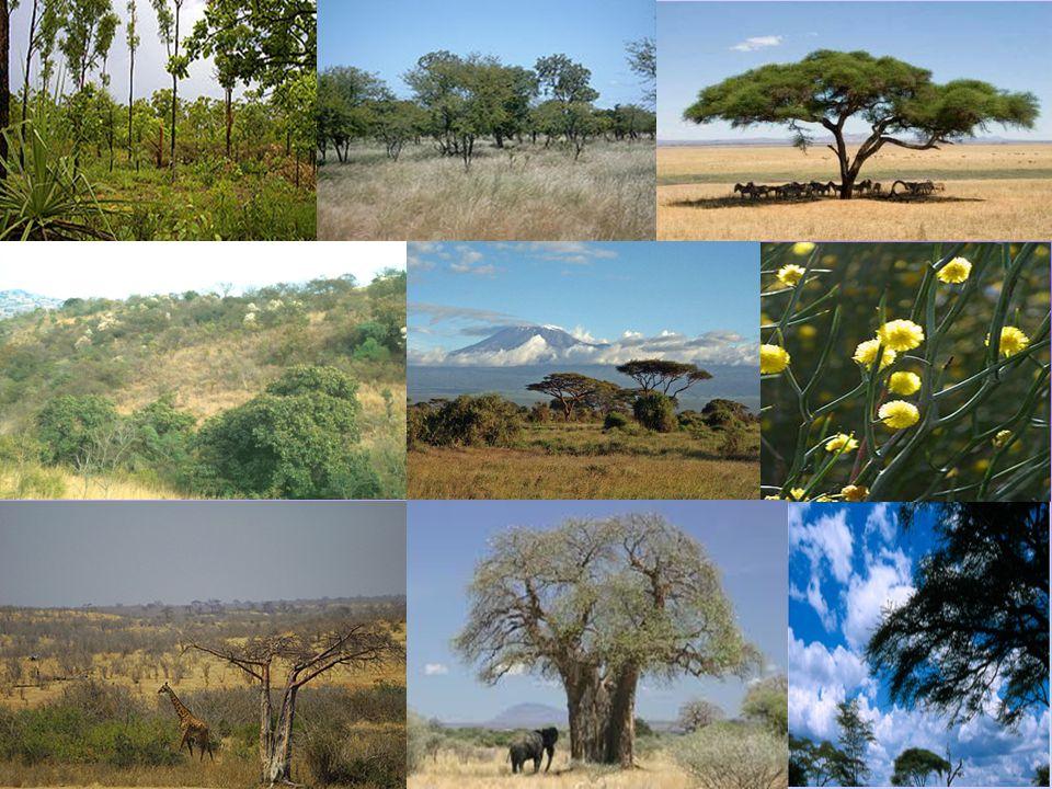 Τα ζώα της σαβάνας Τα ζώα που μπορούμε να συναντήσουμε στη σαβάνα είναι: ελέφαντες ρινόκεροι καμηλοπαρδάλεις στρουθοκάμηλοι λιοντάρια ζέβρες ιπποπόταμοι γαζέλες μαϊμούδες μπαμπουίνοι αντιλόπες τίγρεις πούμα φακόχοιροι γκνου