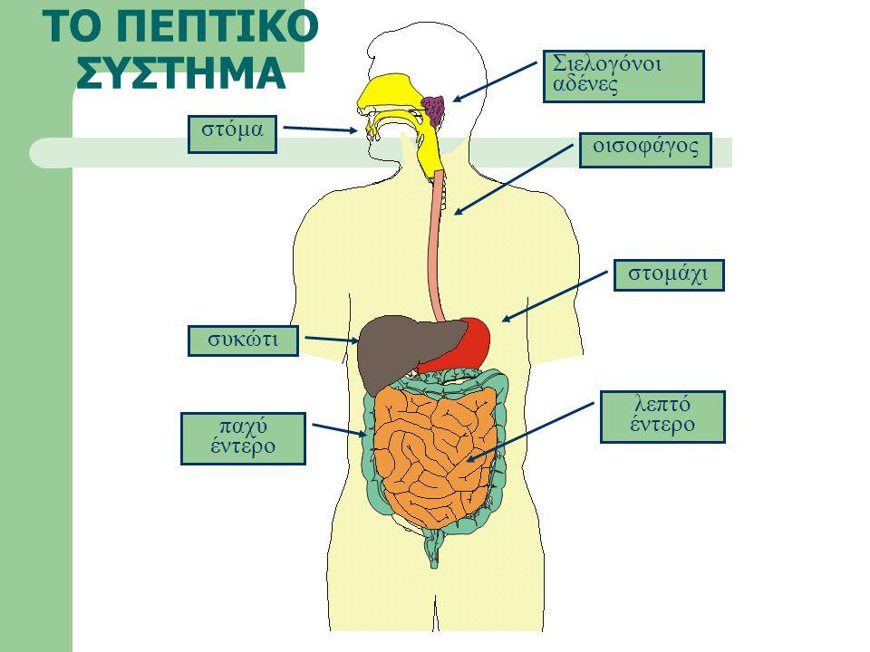 ΤΟ ΠΕΠΤΙΚΟ ΣΥΣΤΗΜΑ στόμα οισοφάγος Σιελογόνοι αδένες συκώτι στομάχι παχύ έντερο λεπτό έντερο
