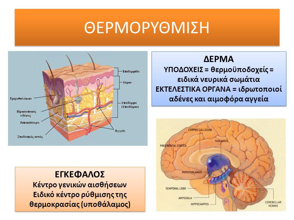 ΘΕΡΜΟΡΥΘΜΙΣΗ ΔΕΡΜΑ ΥΠΟΔΟΧΕΙΣ = θερμοϋποδοχείς = ειδικά νευρικά σωμάτια ΕΚΤΕΛΕΣΤΙΚΑ ΟΡΓΑΝΑ = ιδρωτοποιοί αδένες και αιμοφόρα αγγεία ΔΕΡΜΑ ΥΠΟΔΟΧΕΙΣ = θ